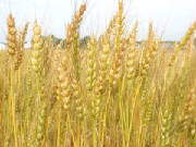 wheatcloseup.jpg